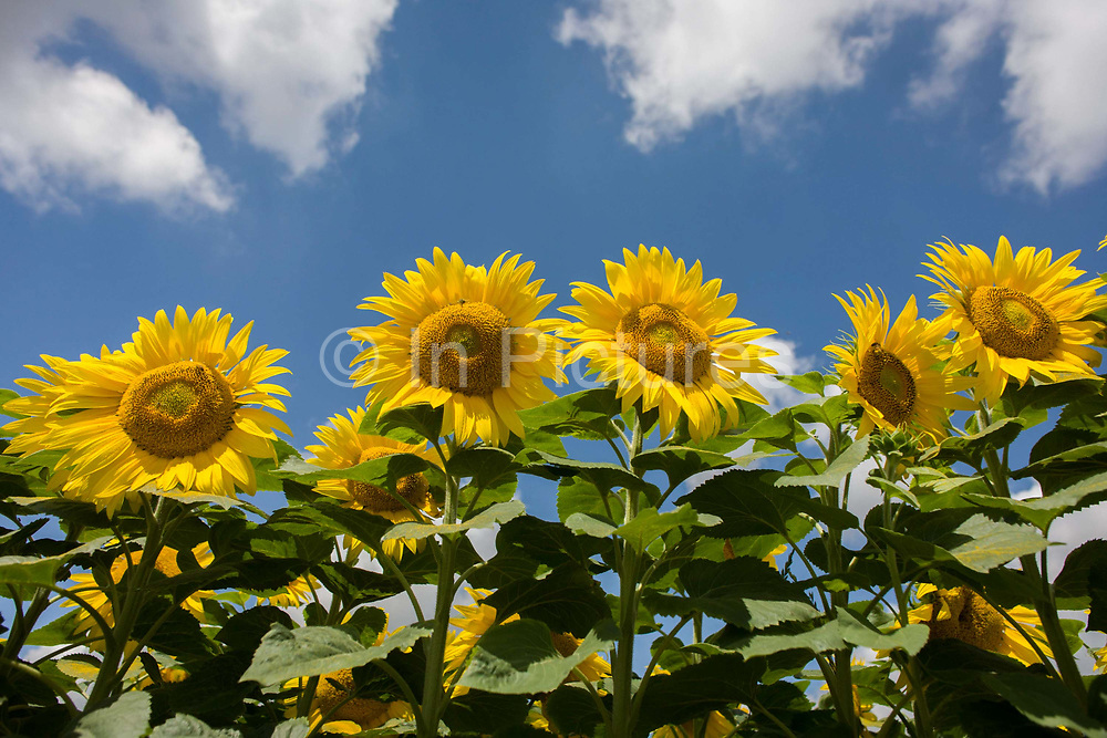 Sunflowers flourishing on land near Malle, Indre-et-Loire region, France. Sunflower plants are cultivated in Sunflower farms for their seeds. Summer sunshine and clouds suggest a landscape of growth and healthy crops. <br /> Refined Sunflower-seed oil is edible, sunflowers have 39 to 49% oil in the seed. Sunflower seed accounts for about 14% of the world production of seed oils (6.9 million metric tons in 1985-86) and about 7% of the oilcake and meal produced from oilseeds. Sunflower oil is generally considered a premium oil because of its light color, high level of unsaturated fatty acids and lack of linolenic acid, bland flavor and high smoke points.