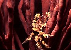 Sponges_ Porifera (under construction, Pls search)