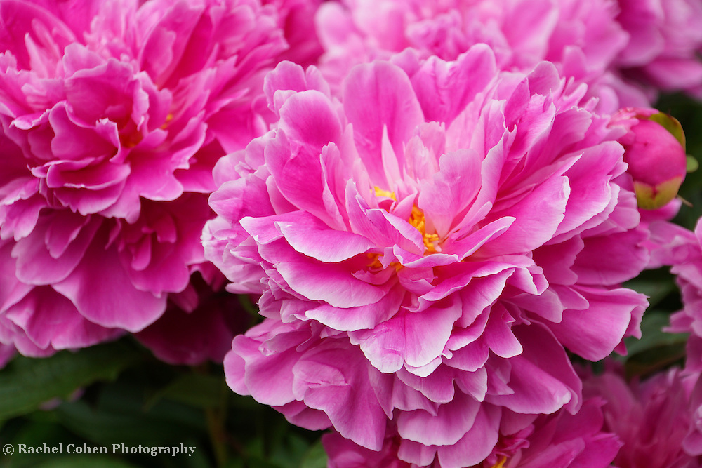 """""""Ever so Vibrant""""<br /> <br /> Amazing huge pink Peonies! So lovely and vibrant!"""