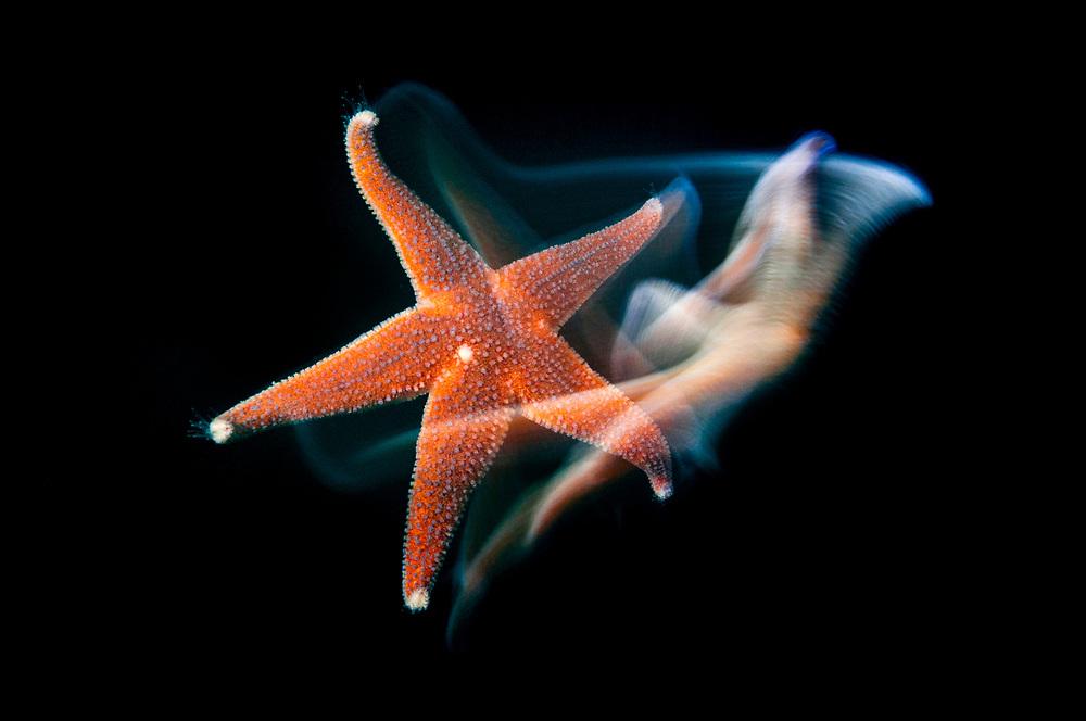 Common starfish, Asterias rubens, Saltstraumen, Bodö, Norway