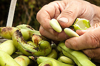 A gardener holds a fava bean and shell over a basket of beans.