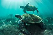 Green Turtle (Chelonia mydas agassisi)<br /> Punta Vicente Roca, Isabela Island<br /> Galapagos<br /> Ecuador, South America