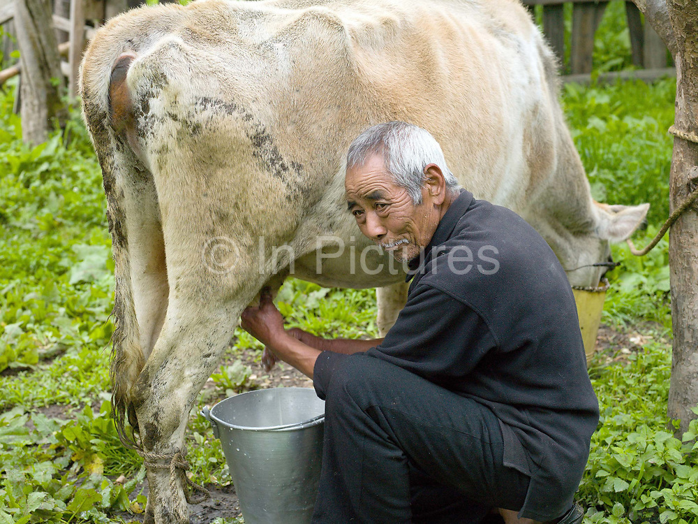 Smallholder/farmer Karma holds a bucket of milk after hand milking one of his 11 cows in the Tang Valley, Bumthang, Central Bhutan. Rural Bhutanese farmers make butter and cheese partly for storage or as a preserved form of milk for self consumption, with any excess being sold for cash.