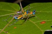 Airplane grasshoppers, Eumastax vittata, mating. Photo from La Selva, Ecuador.
