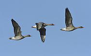 Bean Goose, Taiga race - Anser fabalis fabalis