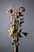 wilted sunflower bouquet still life