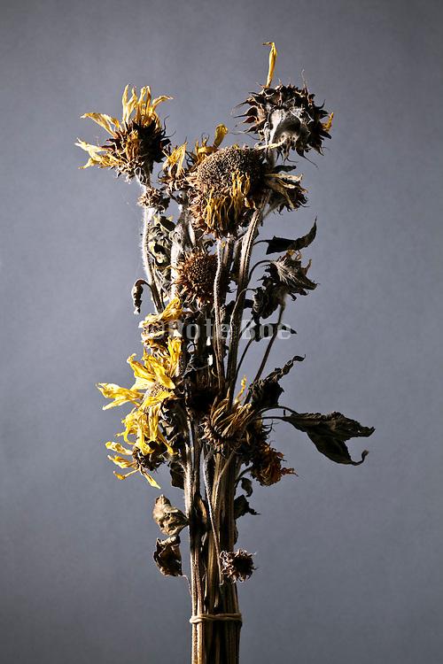 wilted sunflower bouquet still life