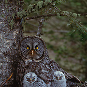 Adult Great Gray Owl and chicks in nest in an old growth forest during spring.