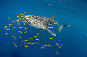 Whale Shark (Rhincodon typus) & Golden Trevally (Gnathanodon speciosus)<br /> Cenderawasih Bay<br /> West Papua<br /> Indonesia