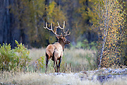 A young bull elk crosses a meadow in autumn.