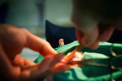 A pet rat being neutered, Arnwood Veterinary Surgery, Nottingham, England, UK.