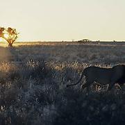 Lion, (Panthera leo) Mature male in Kalahari Desert, early morning. Early morning. Africa.