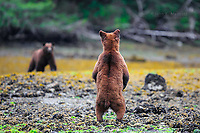A grizzly bear cub watches mom in the Kwinamass Conservancy in the Great Bear Rainforest, BC, Canada
