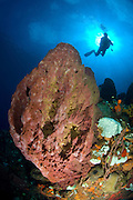 A diver silhouetted against the sun behind a giant barrel sponge (Xestospongia muta), Dominica
