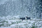 Moose (Alces alces) in an early snow storm<br />