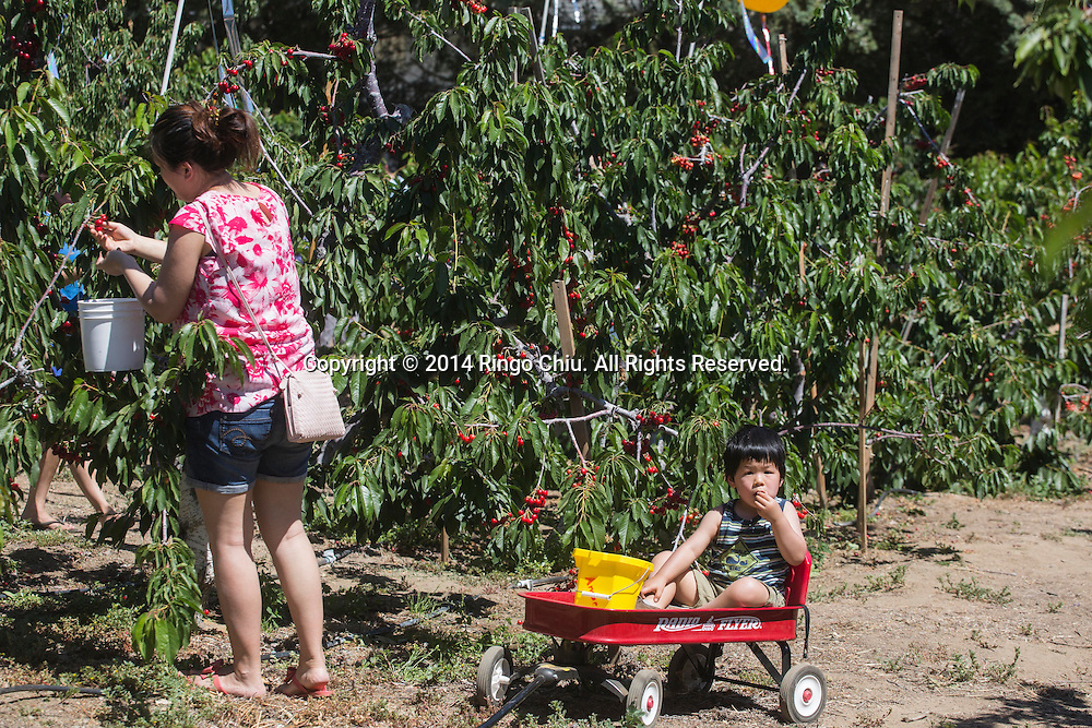 People pick cherries in Leona Valley near Plamdale, California. (Photo by Ringo Chiu/PHOTOFORMULA.com)