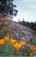 Wildflowers, including the California Poppy, on a hill, Mendocino California