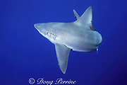 sandbar shark, Carcharhinus plumbeus, off Haleiwa, North Shore, Oahu, Hawaii, USA ( Central Pacific Ocean )