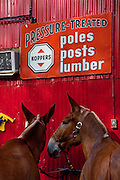 Mules wait to be put up for the night at the Palmetto Carriage barn in Charleston, SC. Palmetto is one of several carriage tour companies providing horse and mule pulled carriage tours of the historic section of Charleston, SC.