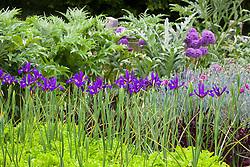 Dutch Iris 'Rendezvous' growing through Lettuce 'Green Salad Bowl'. Cynara scolymus 'Gros Vert de Laon' (Globe artichoke), Allium 'Globemaster' and Dianthus (PInks) in the background