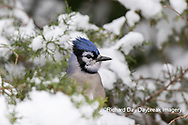 01288-05904 Blue Jay (Cyanocitta cristata) in Juniper Tree in winter Marion Co. IL