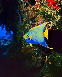 queen angelfish, Holacanthus ciliaris, Cozumel, Quintana Roo, Mexico, Caribbean Sea, Atlantic Ocean