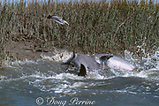 mullet, Mugil sp., leap out of the water to escape as  strand-feeding bottlenose dolphins, Tursiops truncatus, rush the bank of a salt marsh, South Carolina, USA ( Western Atlantic Ocean ) (2 in sequence of 3)