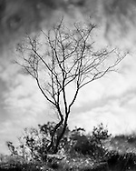 With all its leaves gone this tree faces a cold, exposed winter on the heath. Photograph by Andrew Tobin/Tobinators Ltd