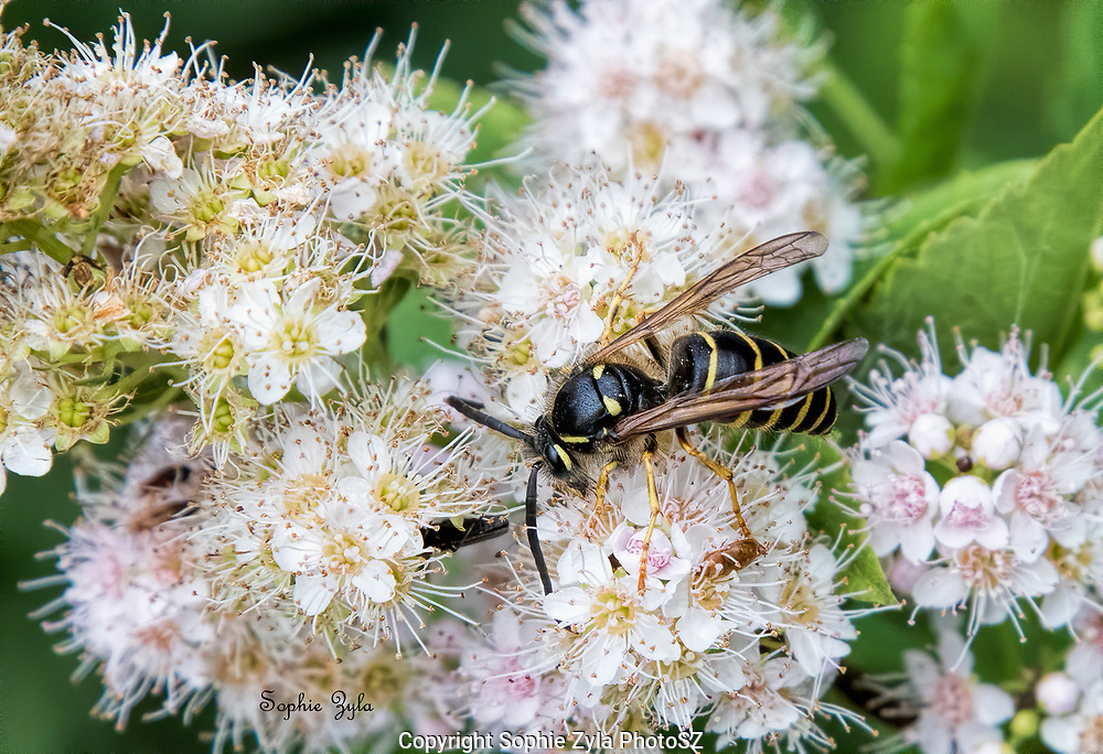 Northern Aerial yellowjacket foraging
