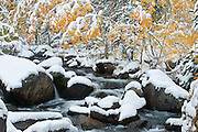 Aspen trees (Populus tremuloides) along Rock Creek, laden with heavy snowfall in the Eastern Sierra Nevada Mountains near Bishop, CA