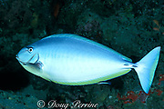 sleek unicornfish or blacktongue unicorn fish,<br /> Naso hexacanthus, in pale color phase being <br /> cleaned by cleaner wrasse, Labroides dimidiatus,<br /> color change sequence #1 of 3, Sipadan Island,<br /> Borneo, Malaysia ( Celebes Sea )