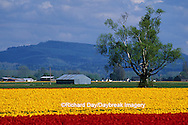 67221-00620 Lone tree and red & yellow tulips in field  Skagit Valley  WA