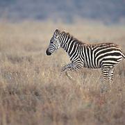 Burchell's Zebra, (Equus burchelli) Running. Kenya. Africa.