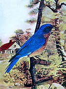 Male The eastern bluebird (Sialia sialis) is a small North American migratory thrush found in open woodlands, farmlands, and orchards. The bright-blue breeding plumage of the male, easily observed on a wire or open perch, makes this species a favorite of birders. From Birds : illustrated by color photography : a monthly serial. Knowledge of Bird-life Vol 1 No 3 March 1897