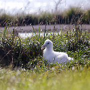 An Albatross chick at The Royal Albatross Colony at Taiaroa Head, on the tip of the Otago Peninsula, New Zealand. The colony is the only mainland breeding colony for any albatross species found in the southern hemisphere. The first Taiaroa-reared albatross chick flew in 1938 and this now protected nature reserve has grown into an established colony with a population of around 140 birds. Otago Peninsular, South Island, New Zealand, 25th March 2011, Photo Tim Clayton.