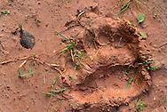 Brown bear, Ursus arctos, track, Sweden