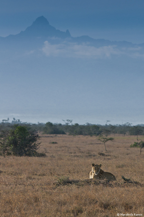 Lioness in the shadow of Mount Kenya.