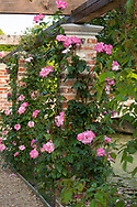 Rosa 'Handel', a cream coloured rose with bright pink edges on a brick and wood arbour in theformal garden, formal garden at Hindringham Hall, Hindringham, Norfolk, UK