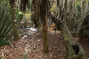 Coastal forest with Spanish moss (Tillandsia usneoides) growing upon Southern Live Oak (Quercus virginiana) and Saw palmetto (Serenoa ripens)<br /> Little St Simon's Island, Barrier Islands, Georgia<br /> USA