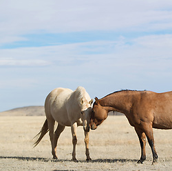 two wild horses nuzzling in a field in New Mexico