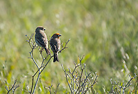 Male (right) and female House Finch, Haemorhous mexicanus, at Cesar Chavez Park, Berkeley, California