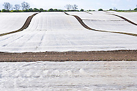 early crops covered with insulating plastic sheets.
