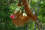 Bald or Golden Uakari Monkey, Cacajao calvus, this colour form found in Peru and Brazil borders, Amazon Rainforest, jungle, red head and face, orange fur,  Vulnerable on the IUCN Red List, listed on Appendix I of CITES