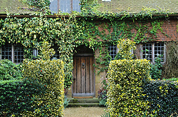 MIxed hedges of clipped holly at the entrance to the house at East Ruston Old Vicarage. Ivy covered walls