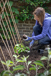Planting out young runner beans plants at the base of a cane wigwam. Phaseolus coccineus