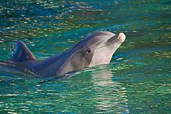common bottlenose dolphin, Tursiops truncatus, spyhopping, Hawaii, USA, captive