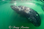 a curious gray whale calf, Eschrichtius robustus, rolls to look up at tour boat passengers while the mother rests below, San Ignacio Lagoon, El Vizcaino Biosphere Reserve, Baja California Sur, Mexico