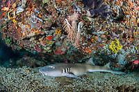 A Bamboo Shark rests under a colorful reef wall<br /> <br /> Shot in Indonesia