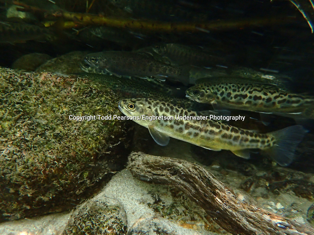 Tiger Trout (Brown Trout x Brook Trout Hybrid)<br /> <br /> Todd Pearsons/Engbretson Underwater Photography