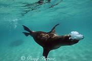 Galapagos sea lion, Zalophus wollebaeki, endemic and endangered species, blowing bubble cloud, Galapagos Islands, Ecuador ( Eastern Pacific Ocean )